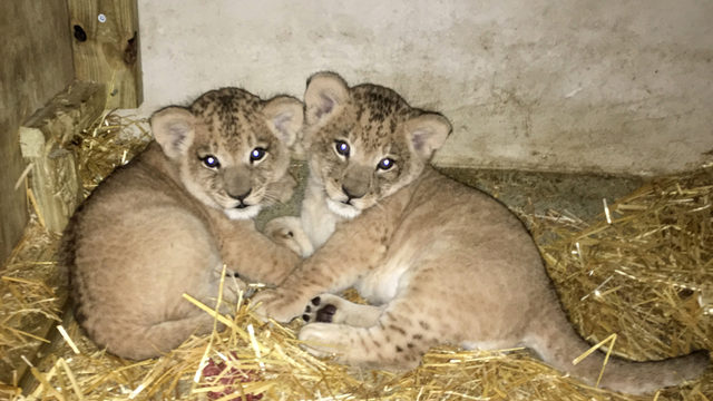 Twin lion cubs born at Dane County zoo to debut next month