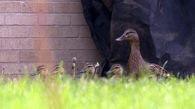Janesville 5th-graders take care of ducklings